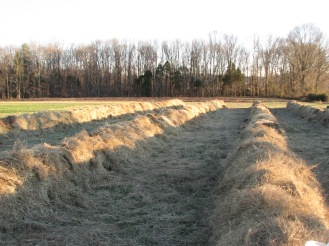 Round bales of hay layed out into windrows.