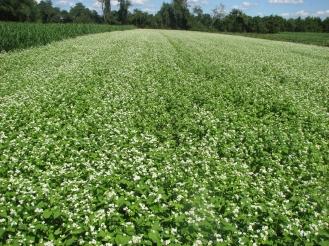 blooming buckwheat benefits people and pollinators