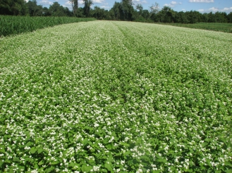blooming buckwheat benefits people and pollinators