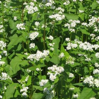 blooming buckwheat