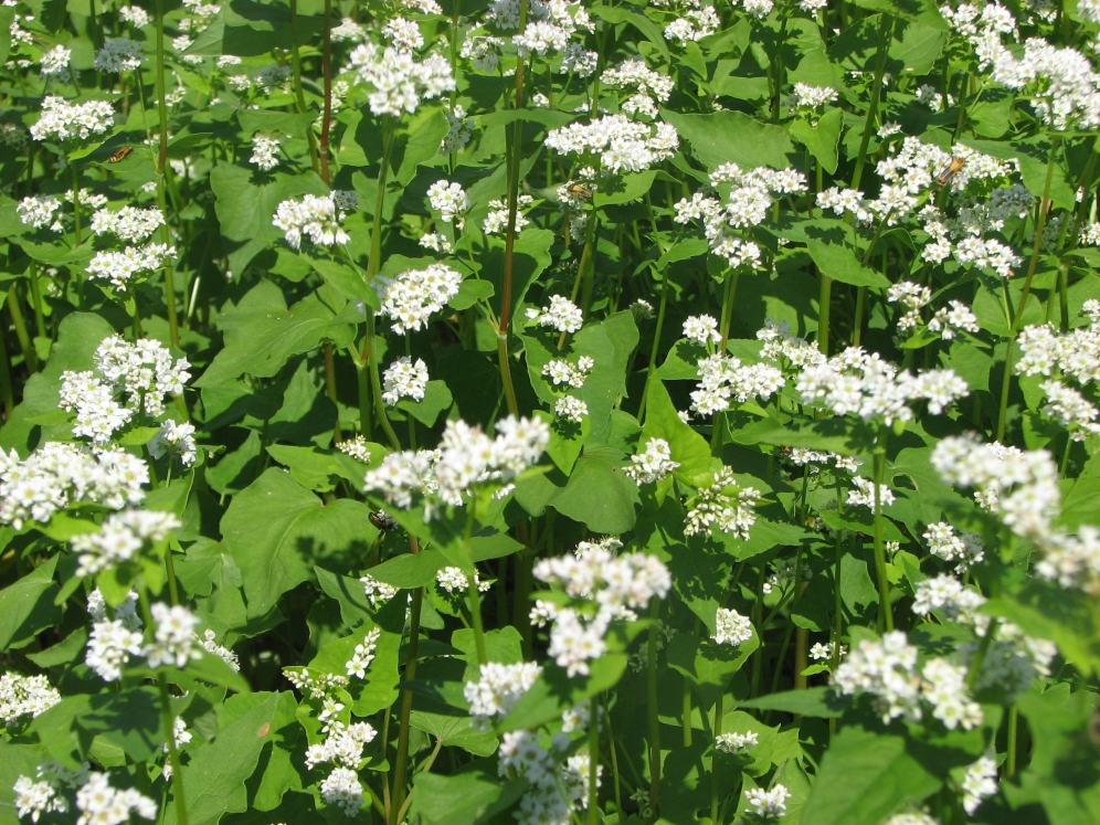 A crop of buckwheat is a fast growing option for summertime.