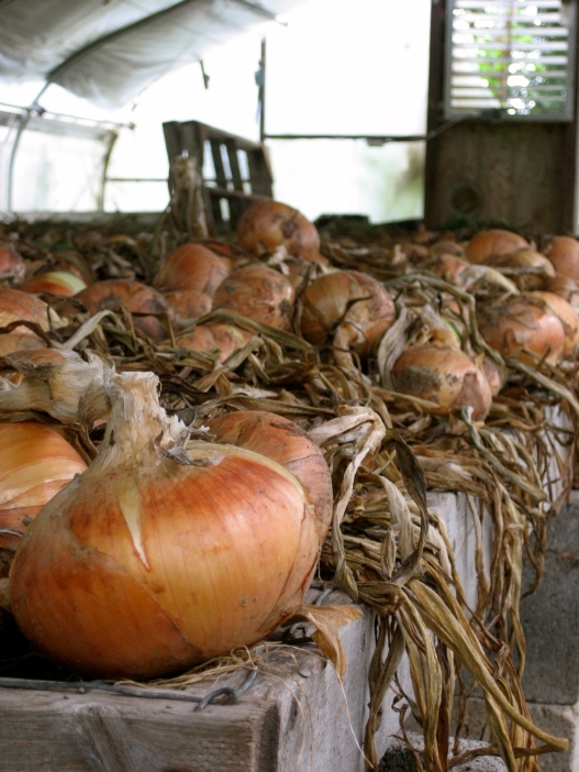 Curing onions get all dried up on the outside so the inside stays moist and yummy.