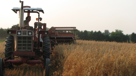 Harvesting hulless oats: Heinz drives while the combine cuts.