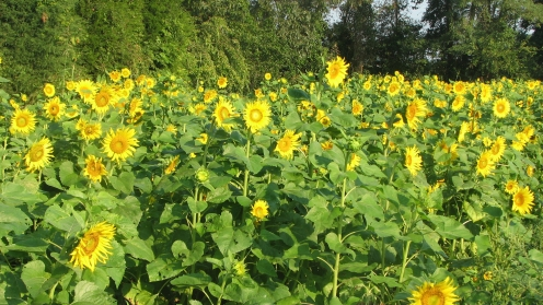 Swaths of sunflowers keep our friendly pollinators coming around to help us make food for you.