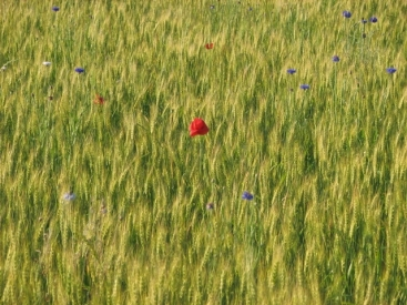 Flowers in Wheat Field