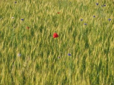 Flowers in Wheat Field