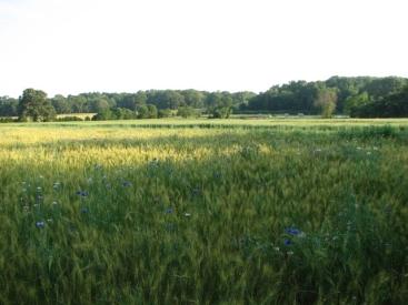 Such a big grain field!