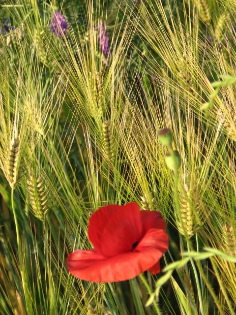 poppy in barley