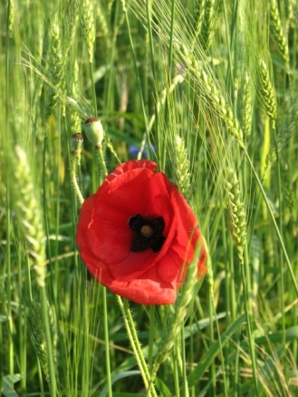 Poppy and wheat work well together. Ask us how on your next farm tour!